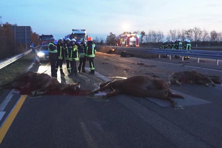 Sieben Tiere starben, drei Fahrer wurden verletzt.