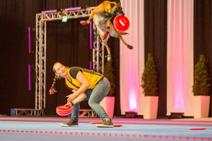 Happy (5), ein Belgischer Schäferhund, schnappt sich einen Frisbee.