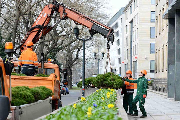 Dresden verschenkt seine Frühblüher
