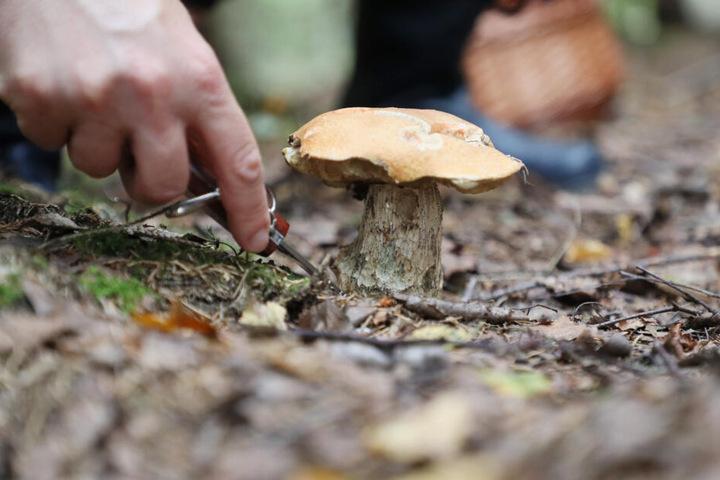Ein Sammler schneidet einen Pilz ab.