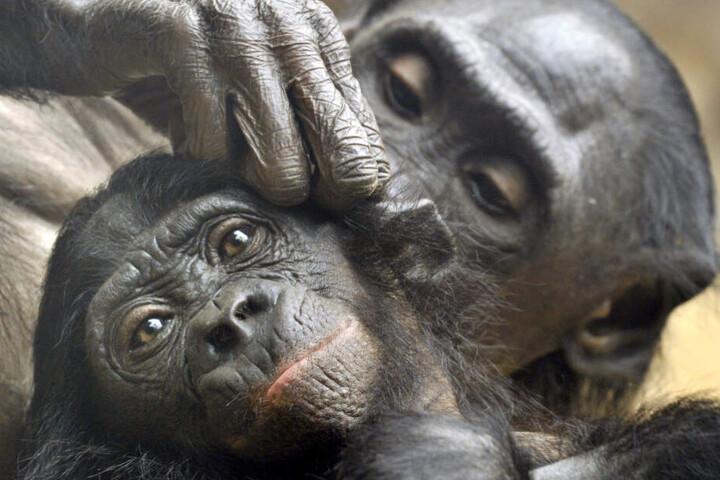 Am Todestag ging es dem Bonobo-Junges nicht gut (Symbolfoto).
