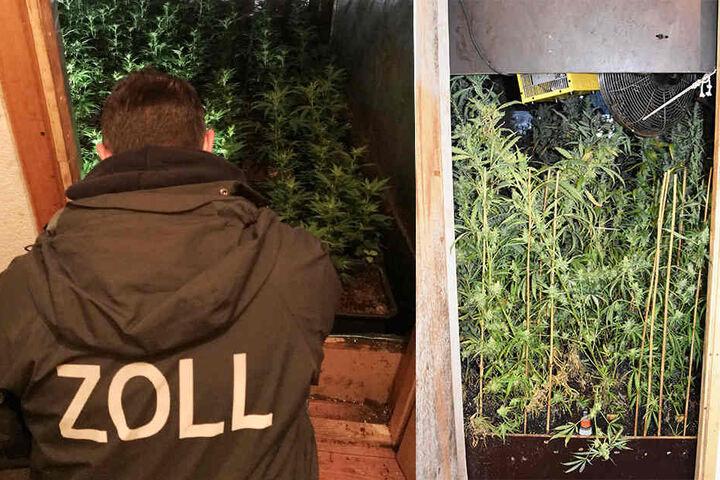 Wohin die Zollfahnder auch schauten. Überall schoss Marihuana empor.