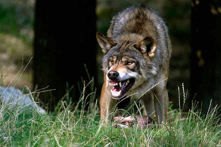Im Erzgebirge werden immer häufiger Wölfe gesichtet.
