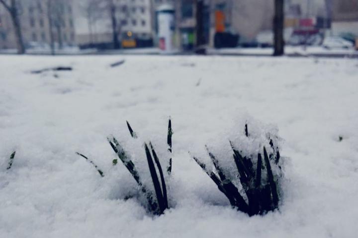 Die Frühblüher (hier am Floßplatz) wurden von der Schneedecke überdeckt.
