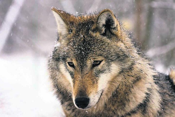 Er ist wieder da: Der Wolf ist im Erzgebirge gesichtet worden.