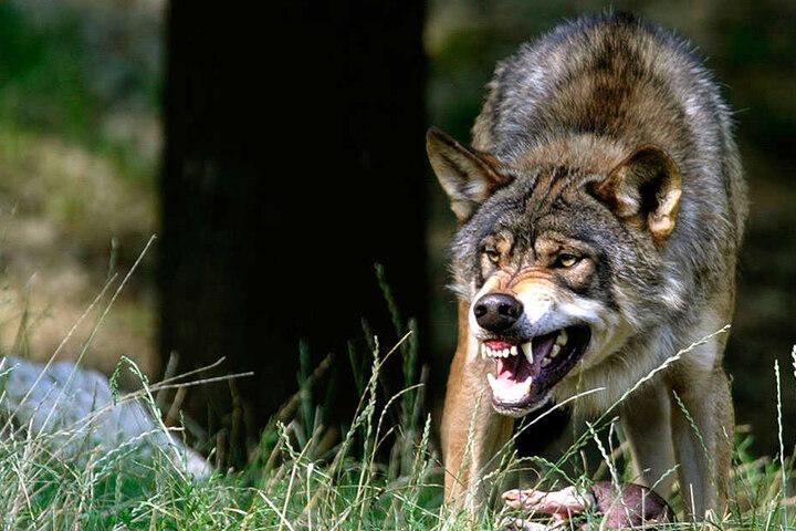 Erneut soll ein Wolf in Weißkeißel einen Hund getötet haben.