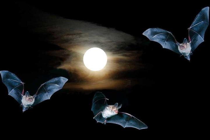 Ein geradezu märchenhafter Schnappschuss gelang Harald Lange mit diesem Bild der Fledermäuse, die vor dem Mond tanzen.