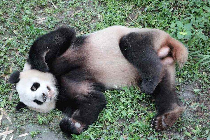 "Das Panda-Männchen ""Jiao Qing"" soll ebenfalls am Samstag in Berlin landen."