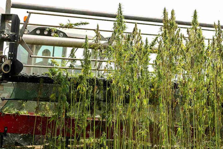 Mit einer eigens entwickelten Erntemaschine wird in Sachsen medizinisches Cannabis geerntet.