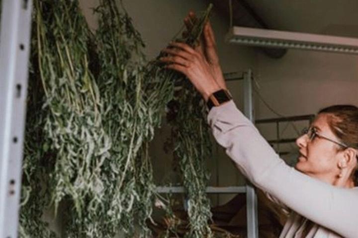 Auch Cannabis zu trocknen gehört zu den Aufgaben der Polizei.