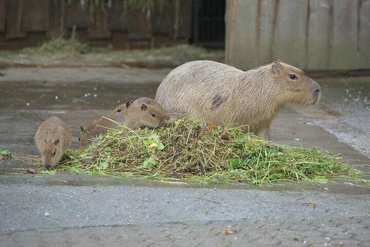 Uns macht der Regen nix: Die Capybara-Wasserschweine in der Südamerika-Anlage mögen ihr Futter auch nass.