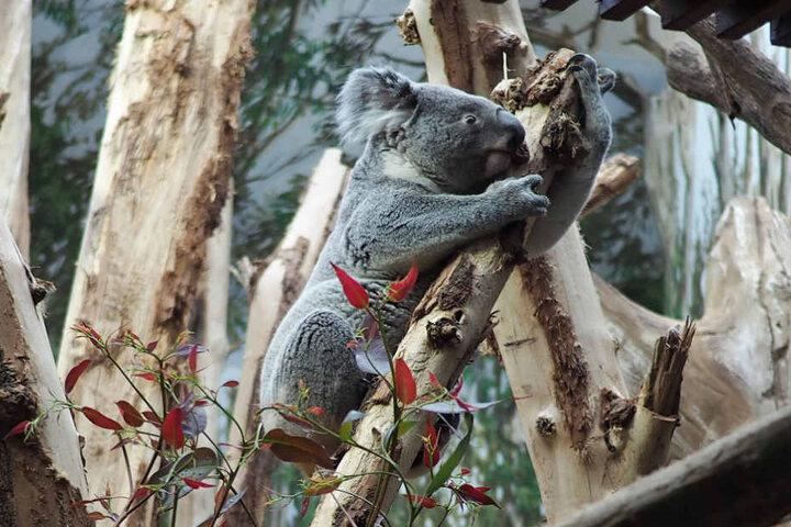 Versorgt werden die Koalas mit Eukalyptus aus Schkeuditz. Dort wurde eigens für die Tiere des Leipziger Zoos eine Plantage angelegt.