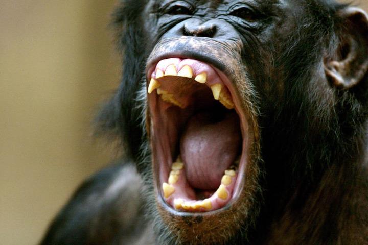 Ja, auch Schimpansen sind ab und zu mal enttäuscht.