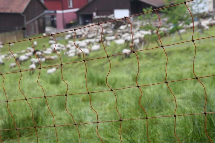 Der Wolf hat bereits zahlreiche Schafe gerissen. (Symbolbild)