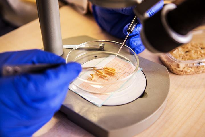 Fliegenlarven unter dem Mikroskop: Sie helfen, die Liege- und Todeszeit eines  Leichnams zu bestimmen.