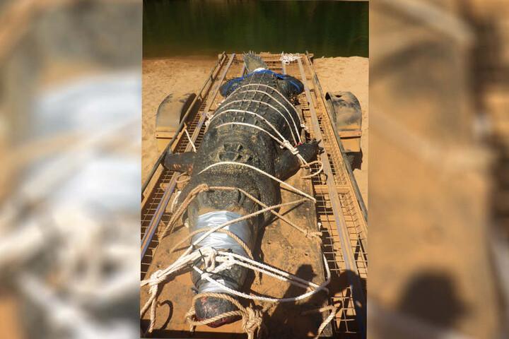 Das schätzungsweise 60 Jahre alte Salzwasserkrokodil sei das größte, das je im Fluss Katherine gefangen worden sei.