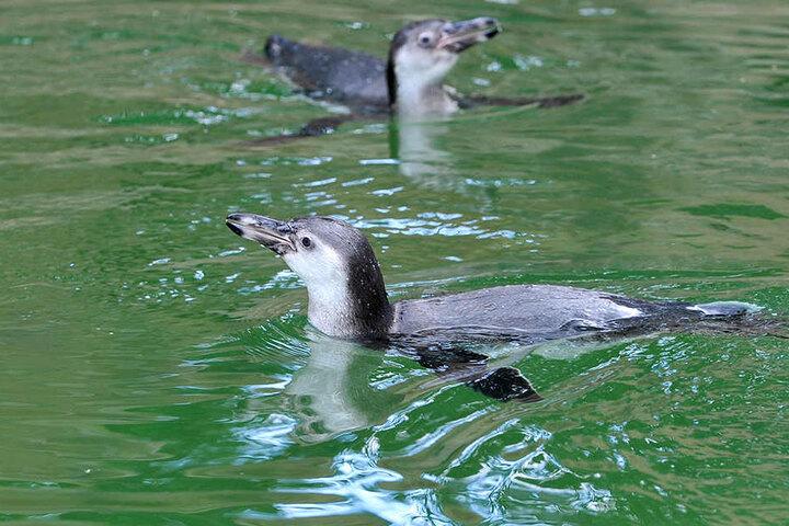 Zwei der zwölf Pinguine sind gestorben, weil sie von Parasiten befallen waren.