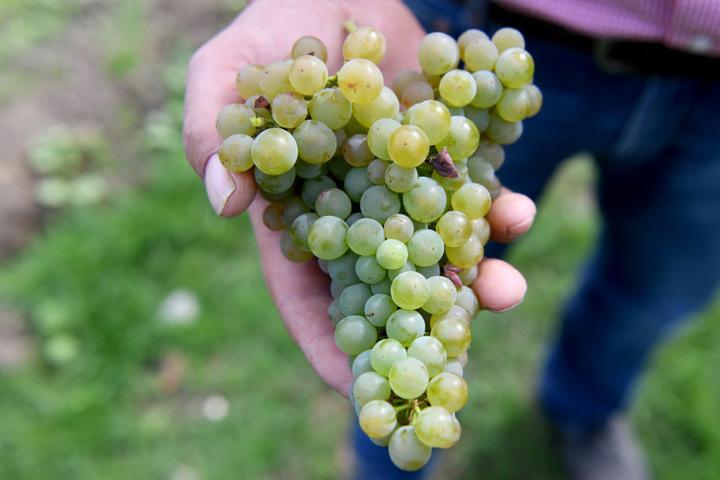 Die Weintrauben sind reif und versprechen einen guten Rebensaft.