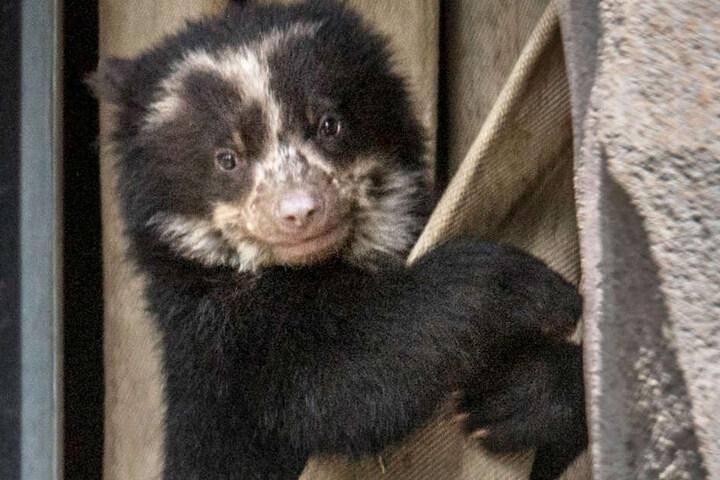 In freier Wildbahn leben Brillenbären in Südamerika. Sie gelten als gefährdete Tierart.
