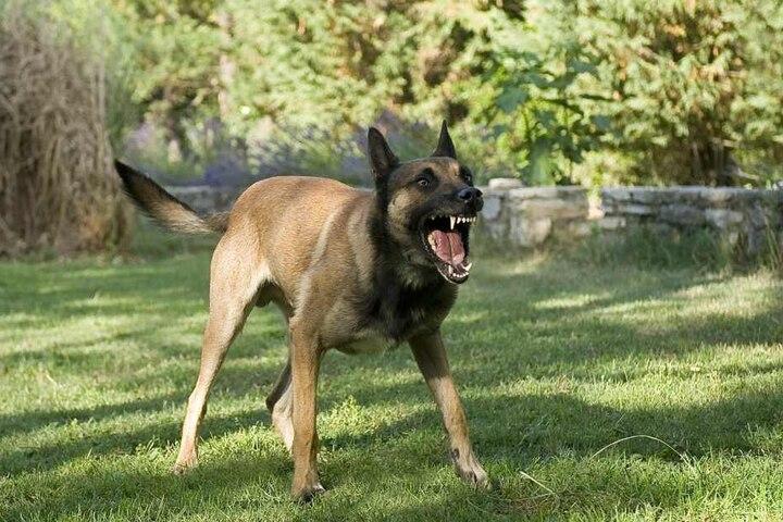 Ein Schäferhund attackierte die Siebenjährige. (Symbolbild)