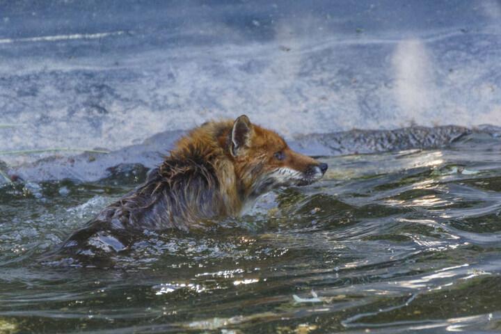 Der Fuchs konnte sich nicht alleine ans Ufer retten.