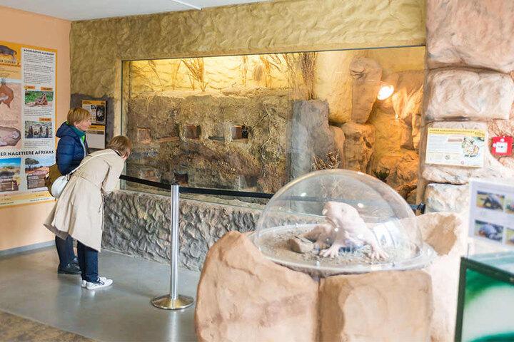 Wohnlandschaft hinter Glas: Das Nacktmull-Revier im Eingangsbereich des Zoos.