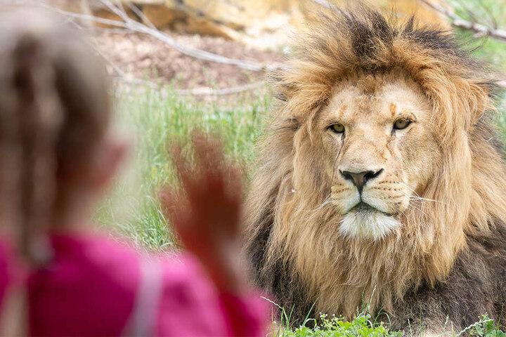 Besuchermagnet, Wüstenkönig und Vater: Löwe Aslam
