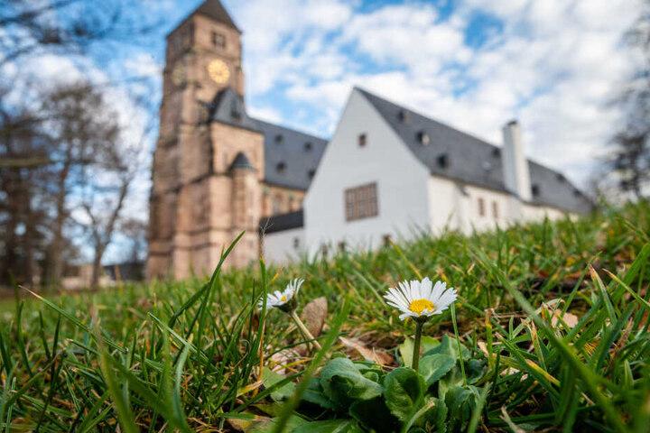 Auf der Wiese vor der Schlosskirche blühen mitten im Winter die Gänseblümchen.