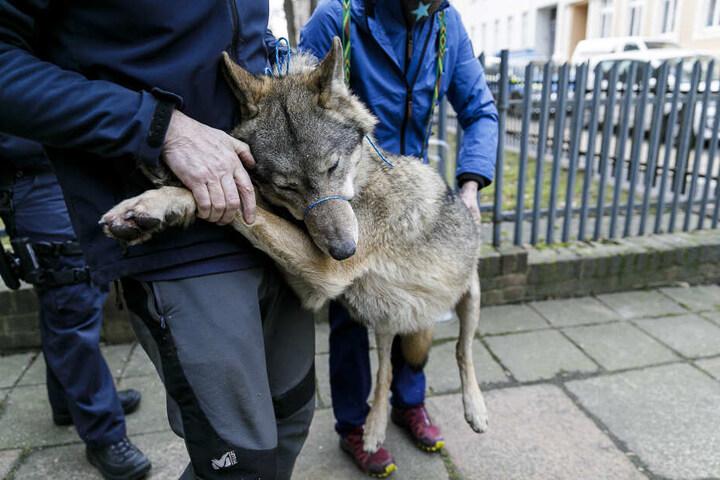 Der Wolf verletzte sich beim Sprung.