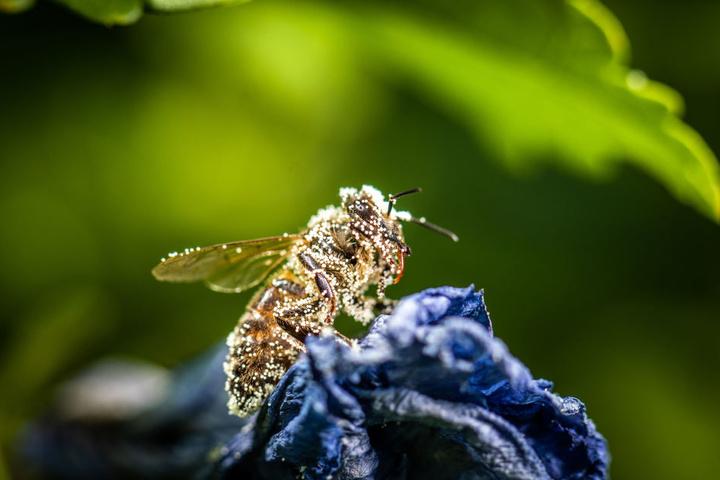Eine mit Pollen besetzte Biene.