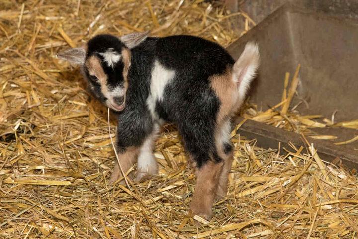 Eine der fünf neugeborenen Zwergziegen.