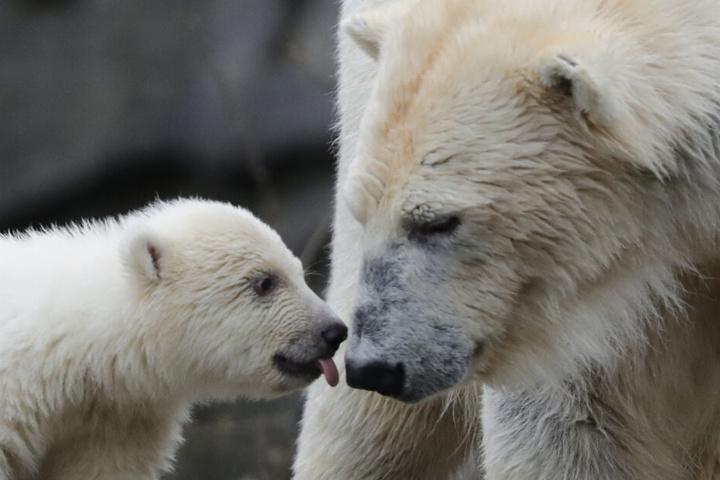 Die kleine, noch namenlose Eisbärin macht ihre erste Erkundungstour im Tierpark mit ihrer Mutter Tonja.