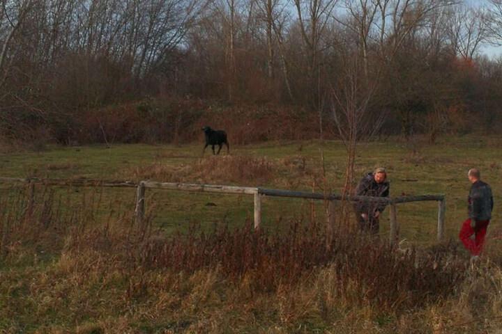 Der Halter reparierte den Zaun und trieb das Tier zurück auf seine Weide.