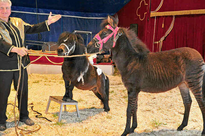 Zirkusdirektor Hardy Weisheit möchte das Tier am Wochenende erstmals in der Manege präsentieren.