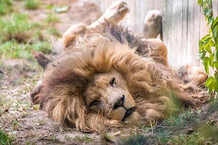 So faul liegen die Löwen nicht immer rum - in der Paarungszeit geht es richtig rund.