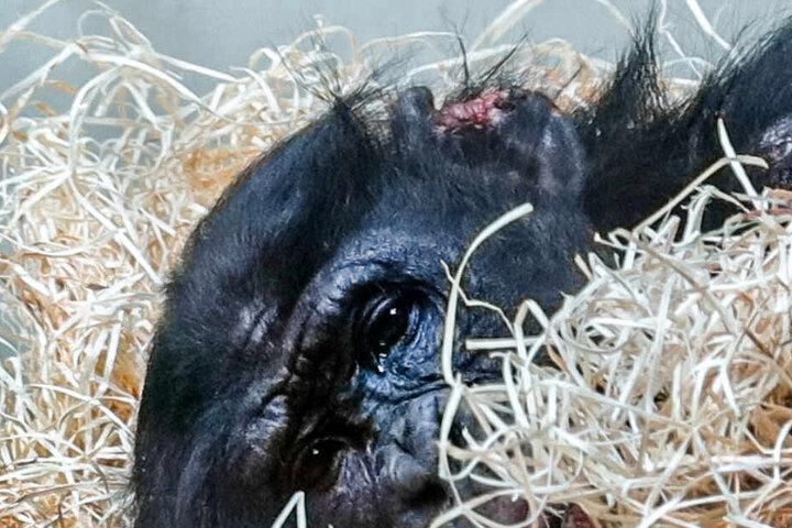Die Bilder des verletzten Bonobos hatten viel Aufmerksamkeit erregt-