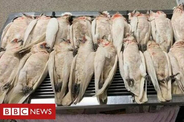 Wahrscheinlich wurden die zum Teil geschützten Kakadus in Australien vergiftet.