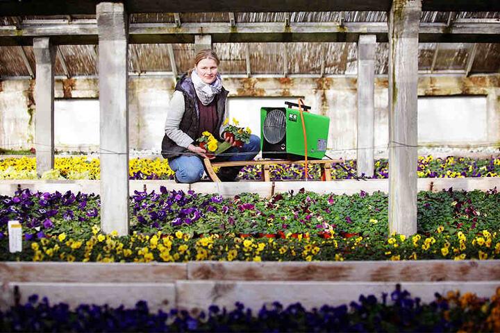 Marlen Müller vom Gartenbau Müller zeigt die Heizung im Gewächshaus bei den Stiefmütterchen, die keinen Frost vertragen.