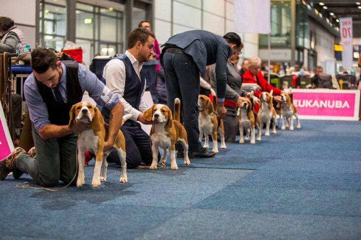 """Beagle-Parade - auf der World Dog Show werden bei den 280 teilnehmenden Rassen die jeweils """"Schönsten"""" gesucht."""