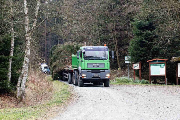 Spezialtransport: Mit einem Sattelschlepper wird der Weihnachtsbaum vom vogtländischen Sachsenforst-Revier Erlbach nach Chemnitz gebracht.