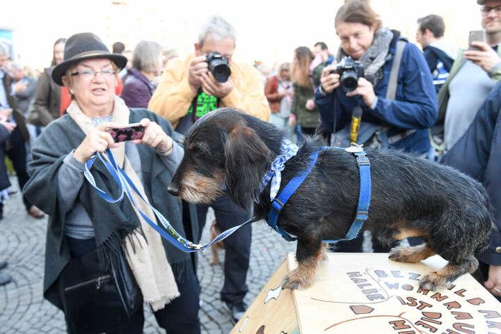 Ein Dackel wird bei einer Dackelparade von seinem Frauchen und anderen Besuchern fotografiert.