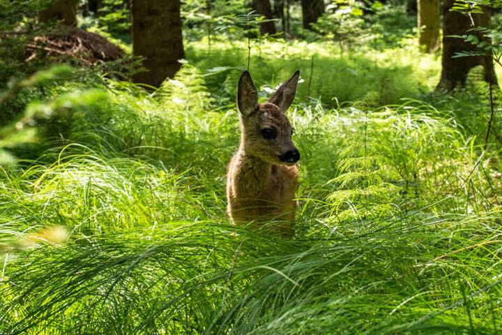 Durch das häufige Mähen sterben viele Rehkitze, die sich im hohen Gras verstecken und dort regungslos verharren.