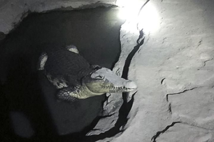 Das Reptil soll bereits über 10 Jahre dort leben.