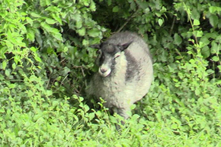 Das mysteriöse Schaf blieb aber spurlos verschwunden.