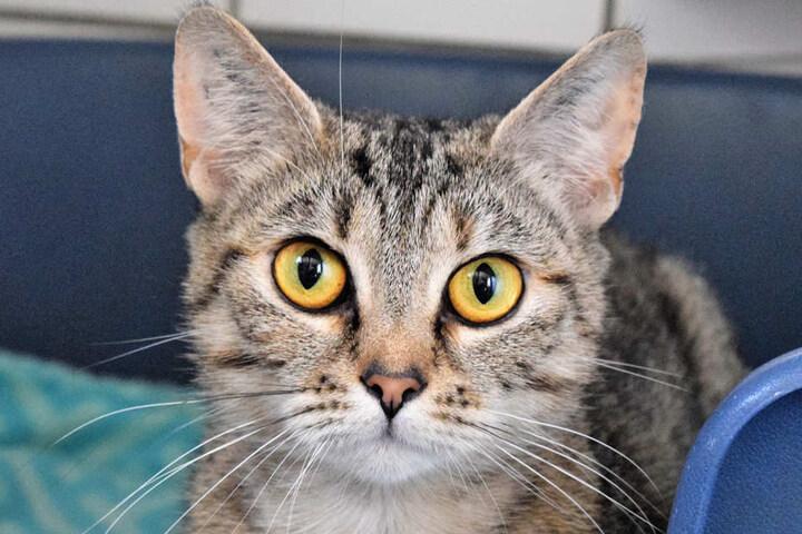 Klara ist etwa 1,5 Jahre alt und kam als Fundkatze ins Tierheim.