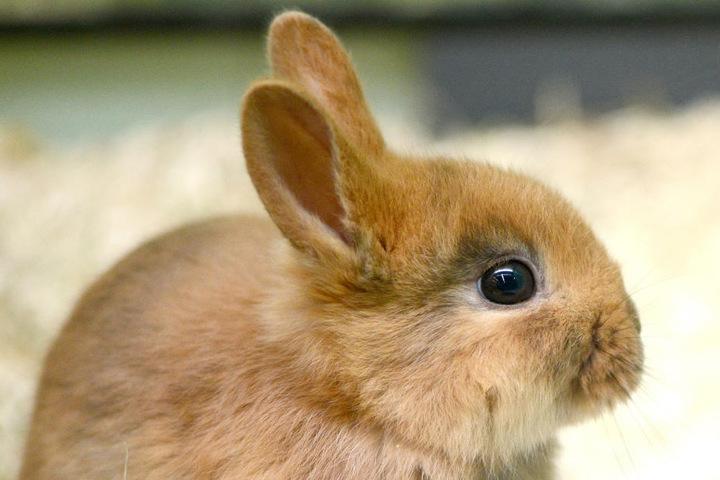 Auch Kaninchen zeigt die Kleintierschau in Möhringen.