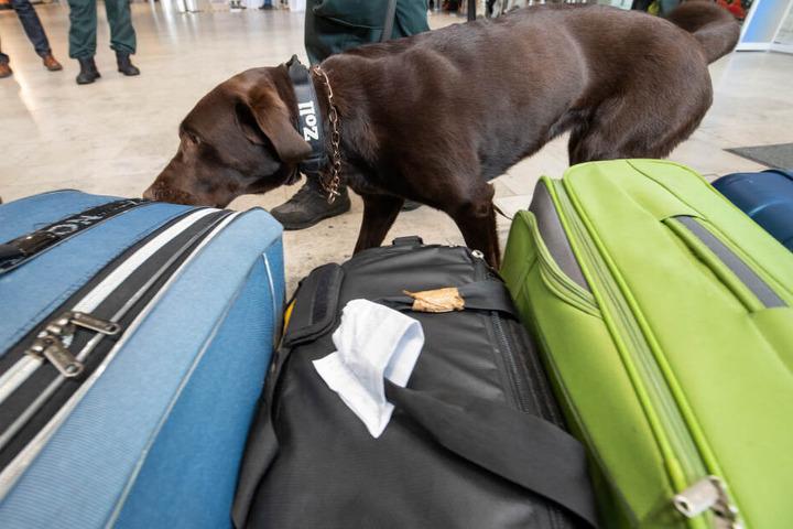 Am Flughafen kommen immer wieder Spürhunde zum Einsatz. (Symbolbild)