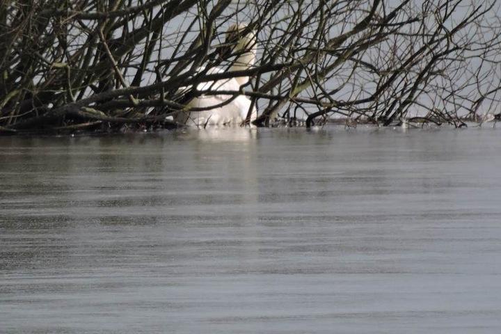 Wie lange der Schwan schon an der kleinen Insel mitten auf dem Autobahnsee Beucha ausharrte, ist unklar.