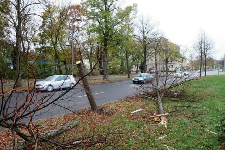Diese zwei Straßenbäume fuhr Florian Scholz in Stadionnähe um, bevor er stiften ging.
