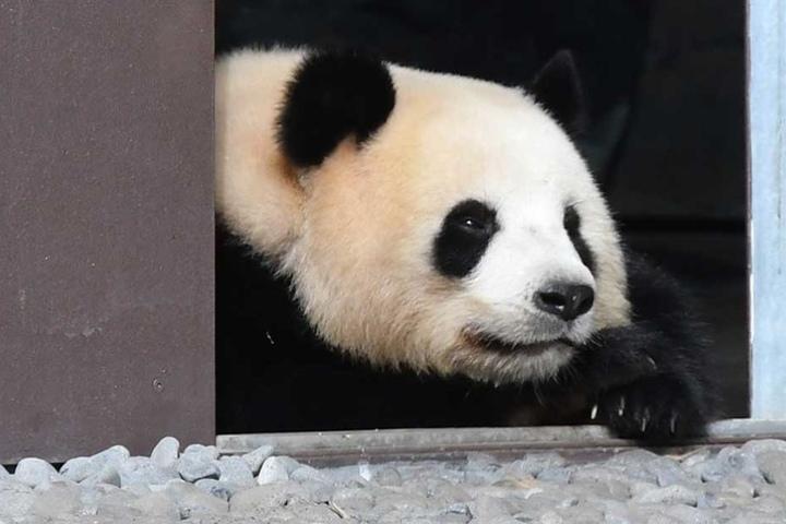 Panda-Dame Meng Meng liegt im Zoo im Eingang zu ihrem Außengehege.